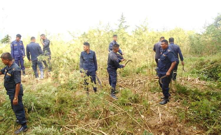 मकवानपुरको बैकुण्ठमा ४४ बिगाह गाँजा नष्ट