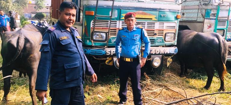 मकवानपुरबाट भैँसी चोर्ने पर्साका राउत प्रहरी खोरमा