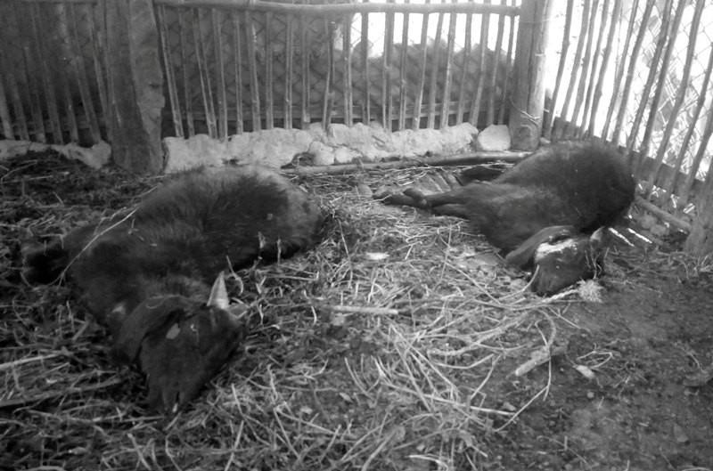 कञ्चनपुरमा अज्ञात रोगबाट २१ बाख्रा मरे