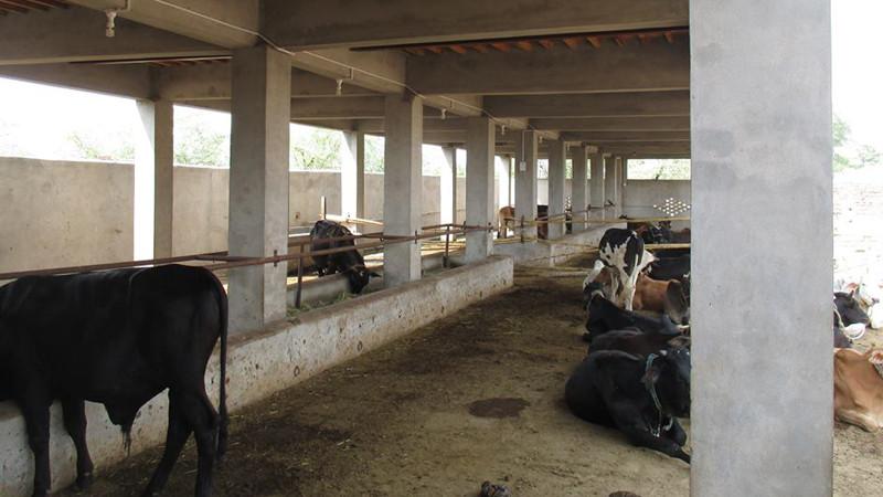 गाईपालनतर्फ किसान आकर्षित