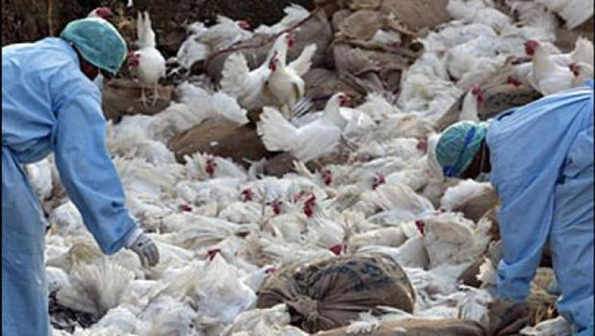 हेटौँडामा बर्ड फ्लु , ४१ हजार कुखुरा नष्ट गरिँदै