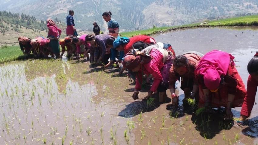 जुम्लामा कालीमार्सी धान रोपाइँ शुरु