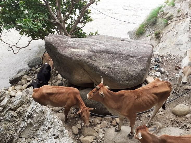 कसरी फसे सेती नदीको चट्टानी भिरमा सात गाई?