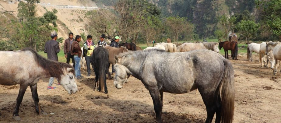 घट्यो जुम्ली घोडाको व्यापार