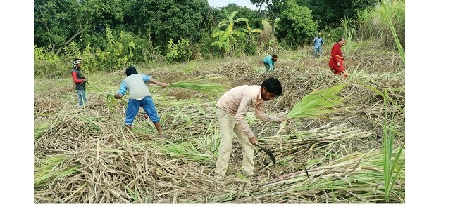 सर्लाहीका किसान उखु फाँडेर तरकारी खेतीमा